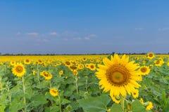 Le beau du champ d'usine de tournesol avec le chanvre de Sunn, chanvre indien, chanvre de Madras, Chanvre Indien, juncea de Crota Images stock
