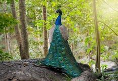 Le beau du mâle de paon en nature images libres de droits
