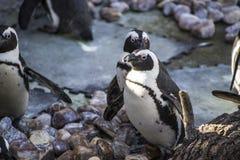 Le beau et drôle soleil de pingouin dans un groupe affinitaire Photographie stock libre de droits