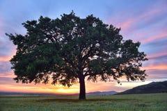 Le beau et vieux chêne au coucher du soleil Photographie stock libre de droits
