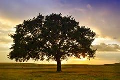 Le beau et vieux chêne au coucher du soleil Photo stock