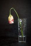 Le beau fanage de fleur a monté sur un fond foncé Image stock