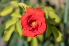 Le beau floribunda rouge s'est levé plan rapproché, vue en gros plan de pétales de rose rouges images libres de droits