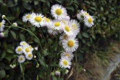 Le beau fond avec les fleurs jaunes et blanches se ferment  images stock