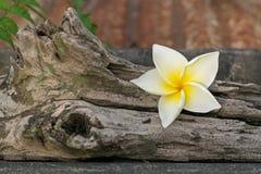 Le beau frangipani est ajouté au délabrement images stock