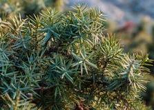 Le beau genévrier d'arbuste se développe en automne, usine épineuse Photo stock