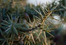 Le beau genévrier d'arbuste se développe en automne, usine épineuse Image libre de droits
