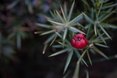 Le beau genévrier d'arbuste se développe en automne, usine épineuse, baies rouges Image libre de droits