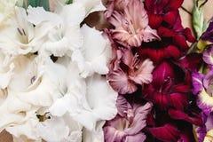 Le beau glaïeul fleurit le plan rapproché dans différentes couleurs sur le bois Photo libre de droits