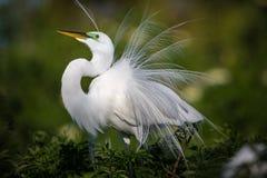 Le beau héron blanc dans le plumage d'élevage fluffs vers le haut de ses plumes sur l'affichage Photos stock