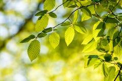 Le beau, harmonieux détail de forêt, avec le charme part image stock