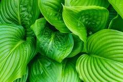 Le beau Hosta part du fond Hosta - une plante ornementale pour aménager la conception en parc de parc et de jardin Photos libres de droits