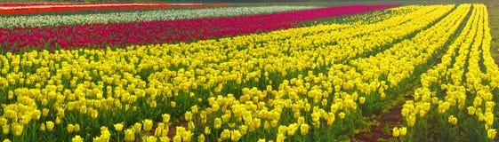 Le beau jardin de temps fleurissant fleurit des tulipes Image libre de droits