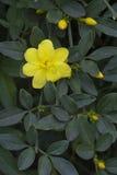 Le beau jasmin de primevère dans la fleur Image libre de droits