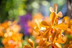 Le beau jaune d'orchidée dans le jardin, peut utilisé pour des cartes de voeux Image libre de droits