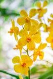 Le beau jaune d'orchidée dans le jardin, peut utilisé pour des cartes de voeux Images stock