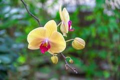Le beau jaune d'orchidée dans le jardin, peut utilisé pour des cartes de voeux Image stock
