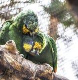 Le beau jaune de couples a épaulé Amazone sur une branche Amour des oiseaux Photos libres de droits