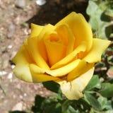 Le beau jaune a monté Photo libre de droits