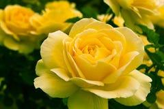 Le beau jaune a monté dans un jardin. Image libre de droits