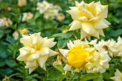 Le beau jaune a monté dans un jardin photos stock
