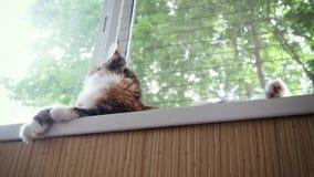Le beau jeune chaton de Maine Coon se trouve sur le rebord de fenêtre banque de vidéos