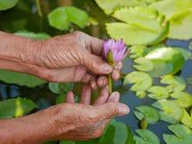 Le beau jeune nénuphar est sélectionné à la main d'un vieil agriculteur assidu photo stock
