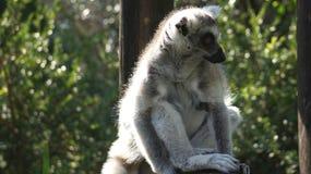 Le beau lémur rond-coupé la queue se repose sur un arbre Photographie stock