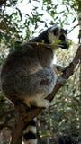 Le beau lémur rond-coupé la queue se repose sur un arbre Image libre de droits