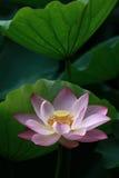 Le beau lotus Image libre de droits
