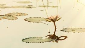 Le beau lotus de matin Photo stock