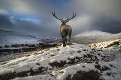 Le beau mâle de cerfs communs rouges dans la neige a couvert la gamme de montagne s de fête Photos libres de droits