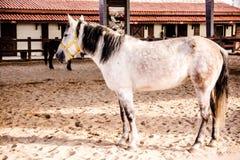 Le beau, mignon cheval blanc attend dans le pré Images libres de droits