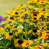 Le beau noir a observé des fleurs de susan dans un jardin photos libres de droits