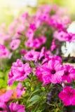 Le beau pétunia rose fleurit le hybrida de pétunia image stock