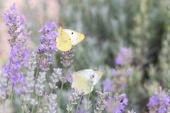 Le beau papillon blanc au-dessus de la lavande violette fleurit photos libres de droits