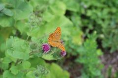 Le beau papillon coloré Argent-a lavé la fritillaire sur le chardon de floraison dans le pré Jour d'été, fond brouillé Photo stock