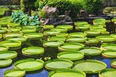 Le beau paysage avec des fleurs de lotus, Santa Cruz waterlily part et bourgeonne Images libres de droits