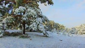 Le beau paysage d'hiver avec la neige a couvert l'arbre Chutes de neige lourdes dans le tir de steadicam d'hiver arbre de Noël la banque de vidéos