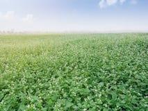 Le beau paysage du grand gisement de sarrasin montrant le sarrasin blanc fleurit Image stock