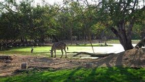 le beau paysage 4K d'un zèbre mangent l'herbe près de l'étang avec le coucher du soleil dans le safari banque de vidéos