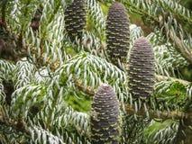 Le beau plan rapproché de jeunes cônes sur les branches du sapin Abies le koreana Silberlocke avec les aiguilles impeccables vert photos stock