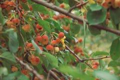 Le beau pommier s'embranche avec des fruits en été Images libres de droits
