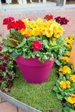 Le beau pot fleurit le plan rapproché au printemps Photo libre de droits