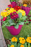 Le beau pot fleurit le plan rapproché au printemps Image stock