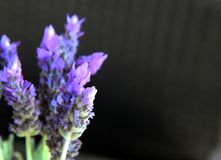Le beau pourpre lavenden des fleurs Image libre de droits