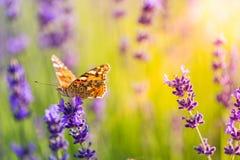 Le beau pré d'été de papillon fleurit, paysage coloré de lavande photos stock