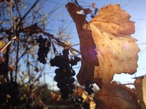 Le beau raisin vert part dans l'avant photos stock
