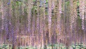 Le beau ressort fleurit la série, treillis de glycine dans le jardin photos stock