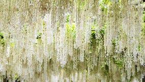 Le beau ressort fleurit la série, treillis de glycine dans le jardin photo stock
